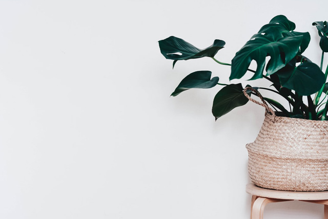 恋愛運・結婚運爆アゲ最強風水玄関観葉植物モンステラ